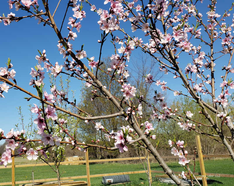 blooming peach tree