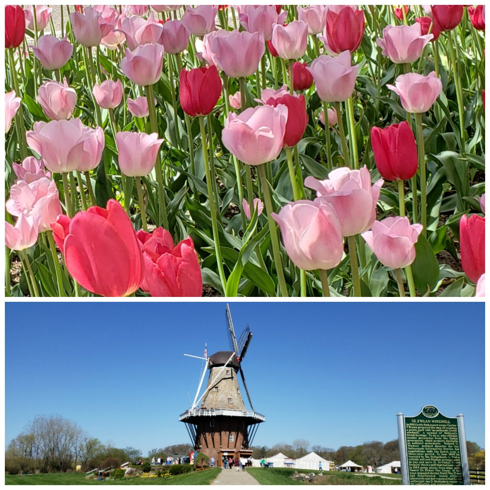 Experience a little bit of the Netherlands when you visit Holland Michigan's Tulip Time Festival in May. Enjoy seeing the tulips and the Dutch culture in Michigan's own Holland community. - eattravellife.com