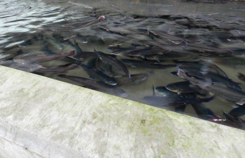 Oden State Fish Hatchery Michigan