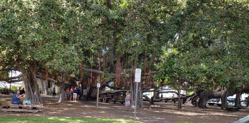 banyan tree maui hawaii