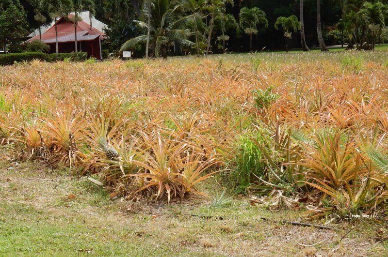 pineapple tour maui hawaii
