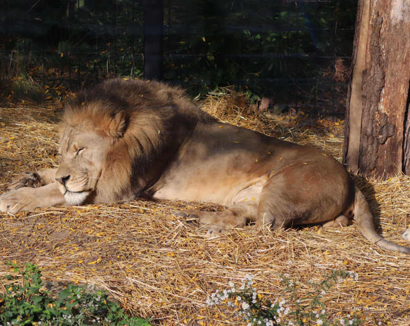 lion potter park zoo